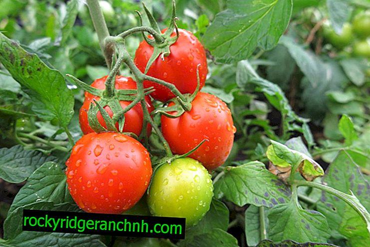 Описание на Tomato Loggain