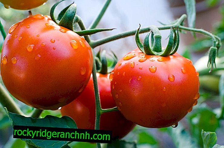 Description of the best varieties of tomatoes of 2018