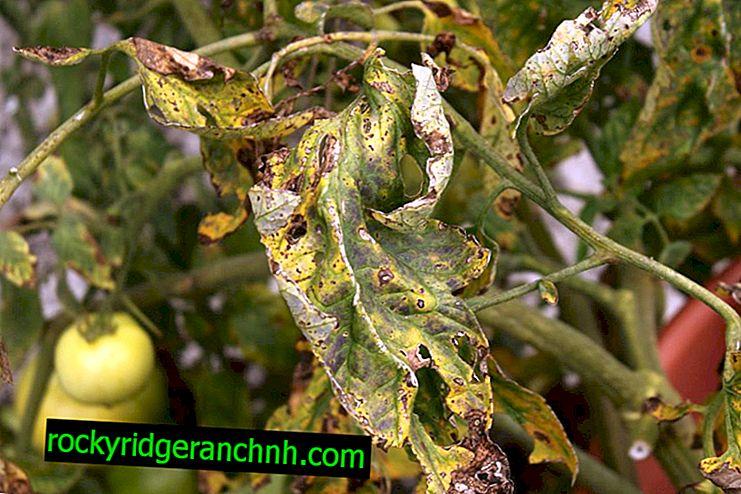 Aide les tomates sèches et jaunissantes