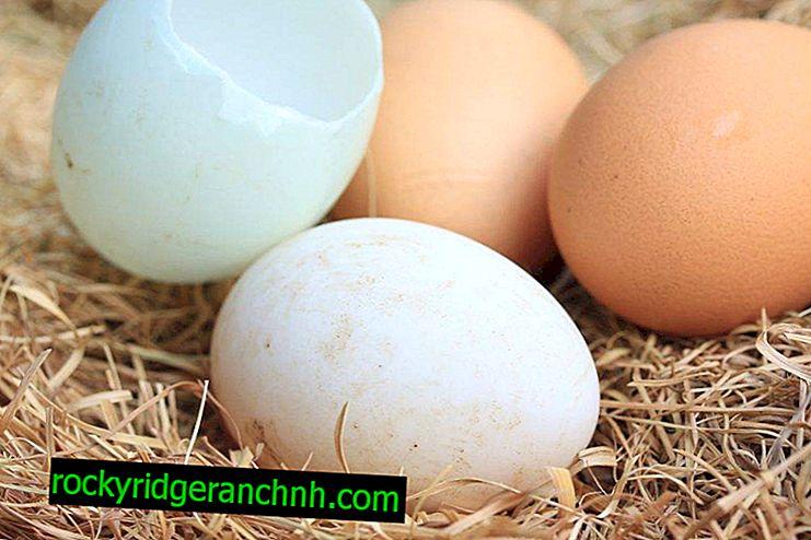 Kolik kachen sedí na vejcích