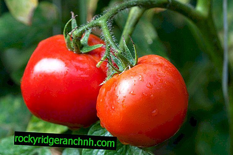 Os melhores tomates para a região de Moscou