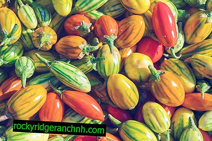 Характеристика томатів сорту Чудо