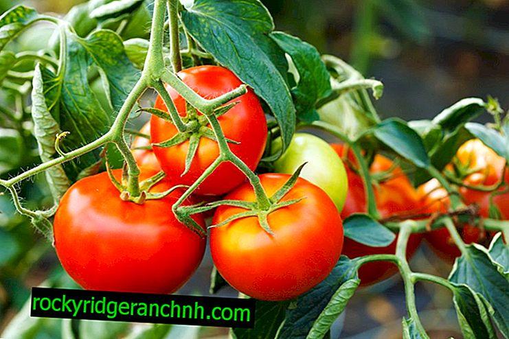The optimum temperature for growing tomatoes