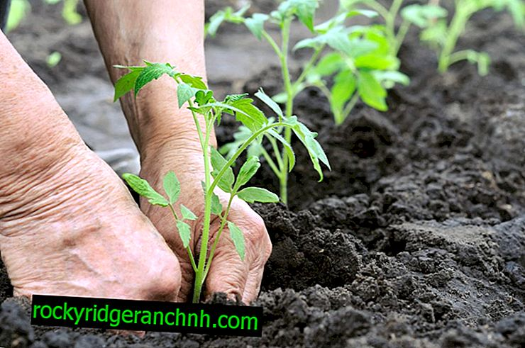 След това засадете домати в градината