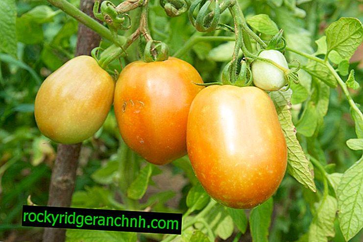 Descrição do Tomate Miracle Laranja