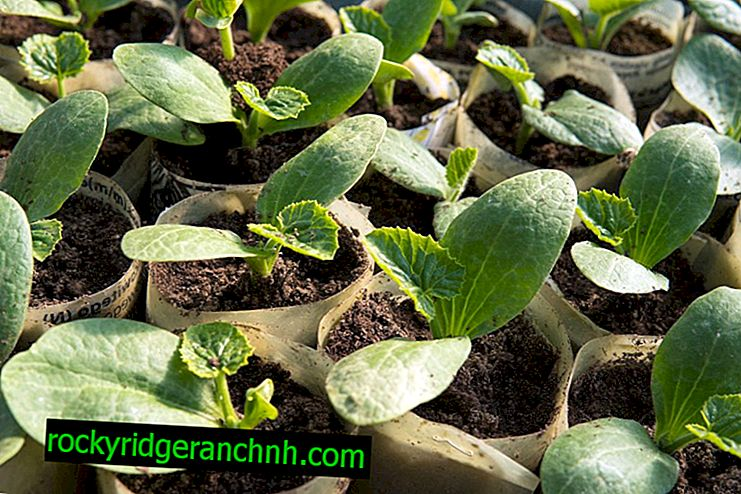 The principle of growing cucumbers in the Urals