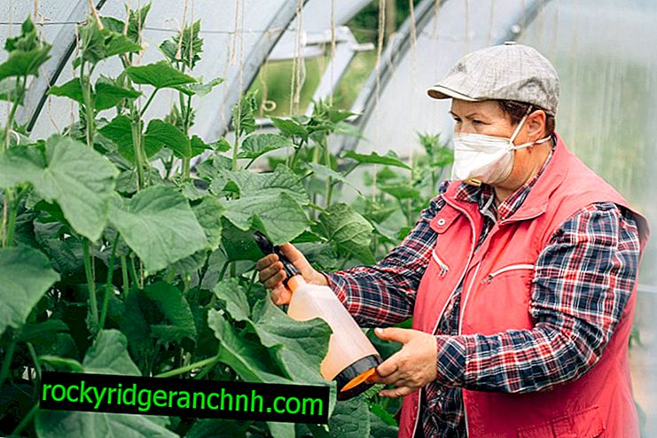 Rules for processing cucumbers with potassium permanganate