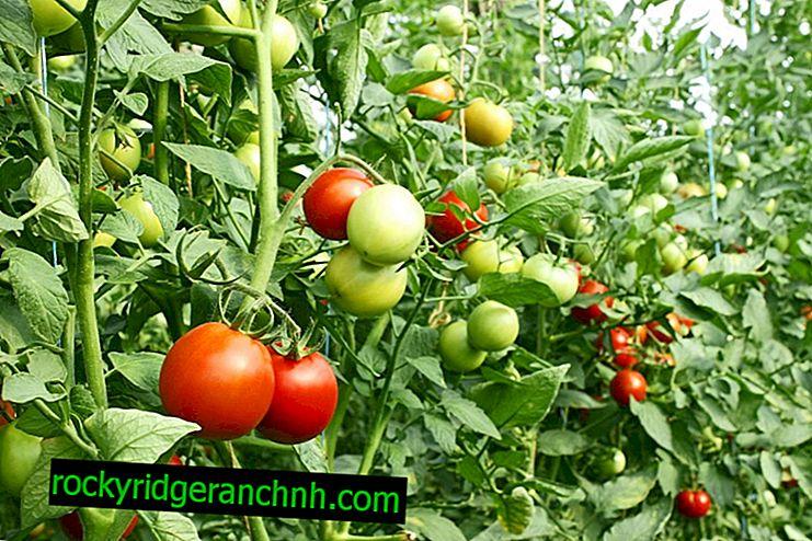Etapas da formação do tomate