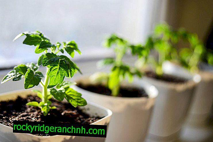 Cuándo y cómo plantar tomates para plántulas en Siberia