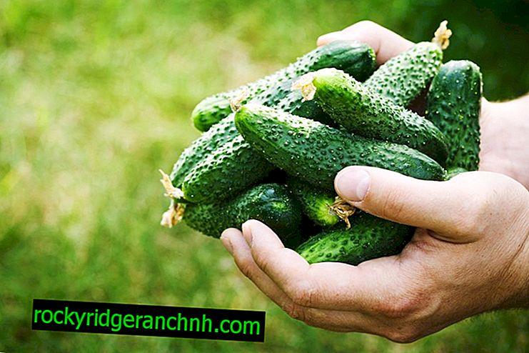 Характеристики на сорта краставици Kroha f1