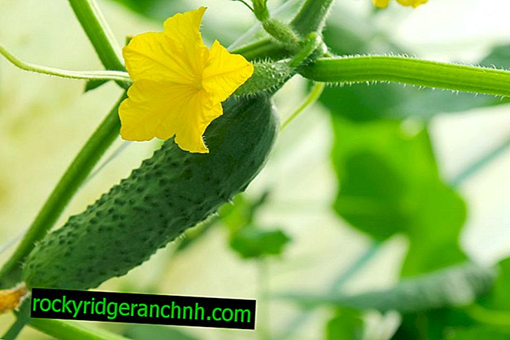 Growing early cucumbers in a greenhouse