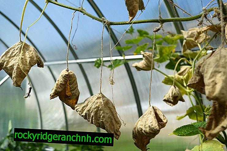 Causas de definhamento dos pepinos do mato