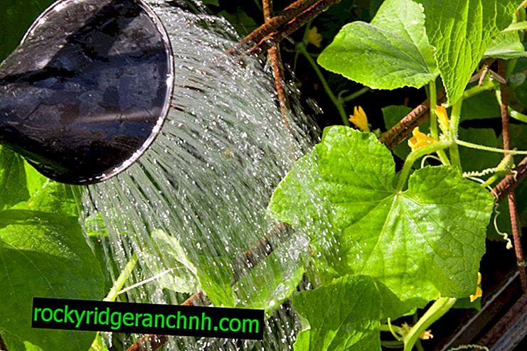 Як правильно поливати кущі огірків
