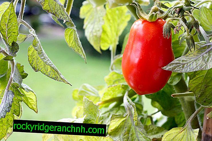 Caracterización de la variedad de tomate Miracle Walford