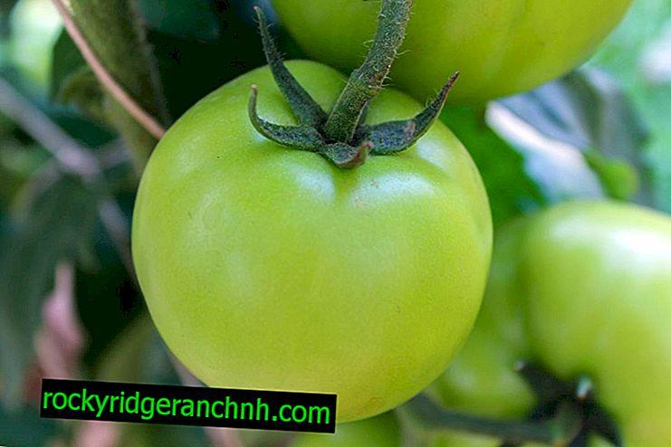 ¿Qué fertilización se requiere para los tomates durante el período de fructificación?