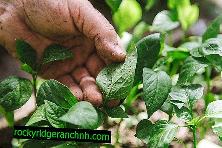 Hur man hanterar bladlöss på peppar