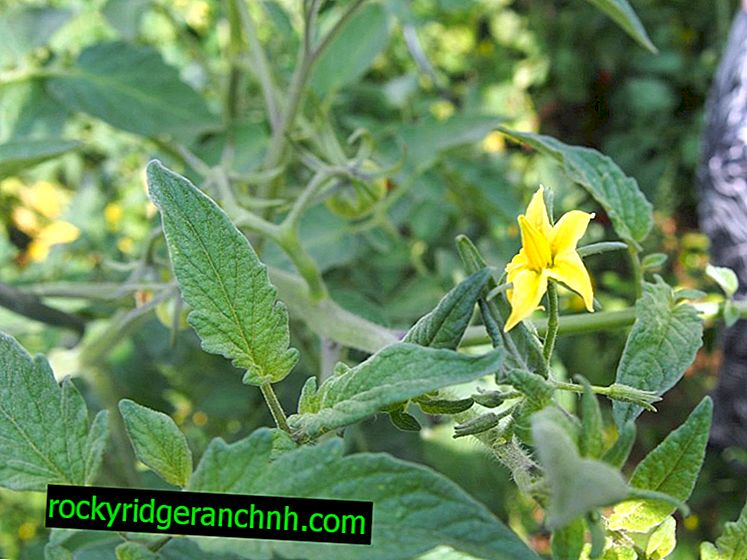 Topping tomatoes during flowering and fruit setting