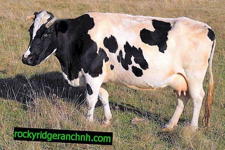 ¿Cuáles son las enfermedades en vacas y toros?