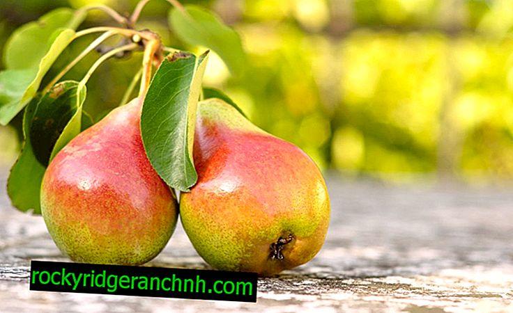 Description de la poire Severyanka