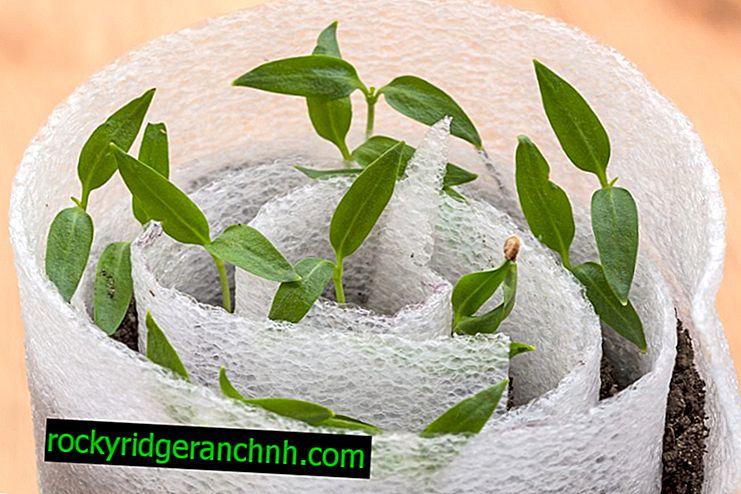 Peperzaailingen planten en kweken in een slak