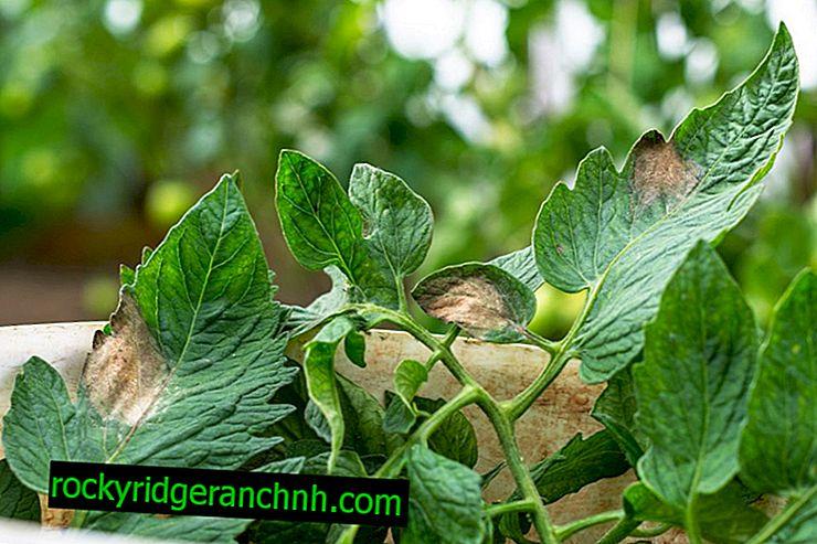 Uzroci žutila listova rajčice