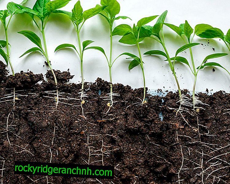 Reglas para preparar el suelo para las plántulas de pimiento