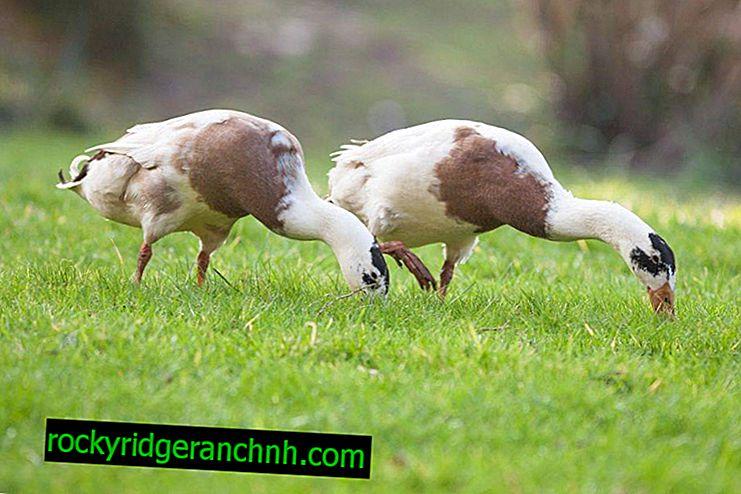 Duck indian runner