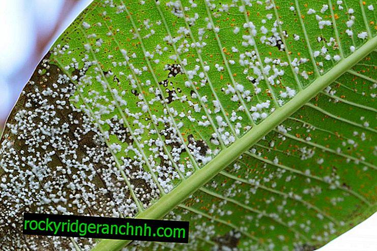 Kako se nositi s krušnim žučnim grinjama