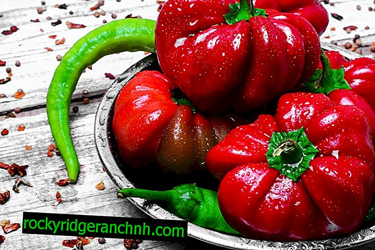 Characteristics of the variety of peppers Ratunda
