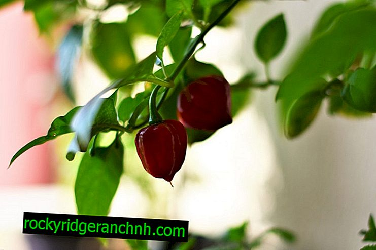 Growing pepper on the balcony