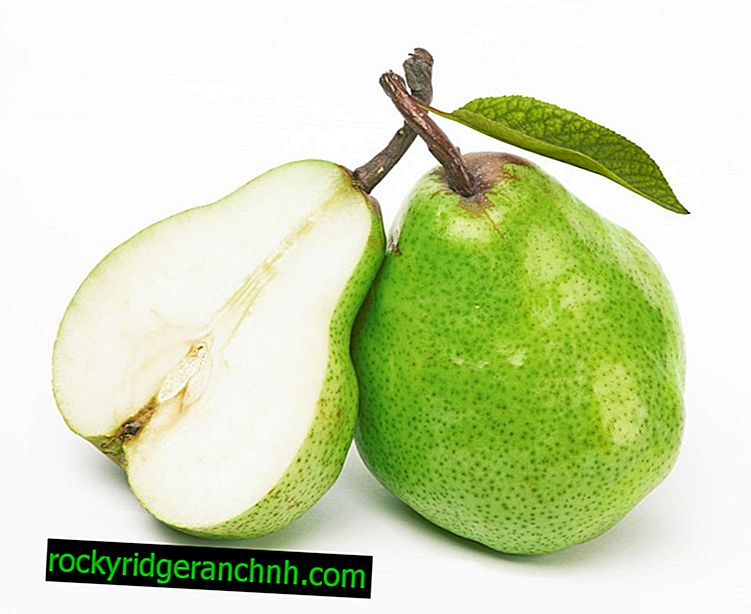 Characteristic pear variety Fairy