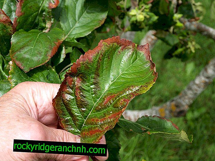 De bladeren van de peer werden rood: oorzaken, behandeling