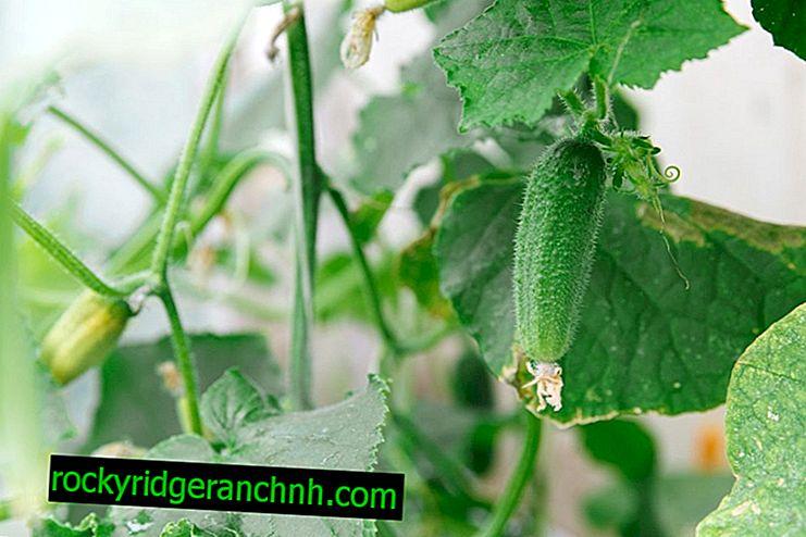 Zakaj kumare nehajo rasti in ne obrodijo sadov