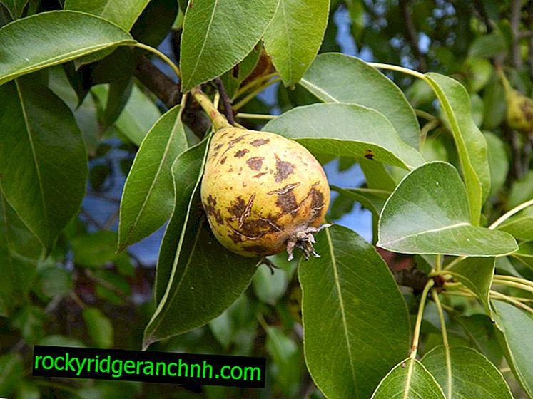 Причини почорніння груш і методи лікування