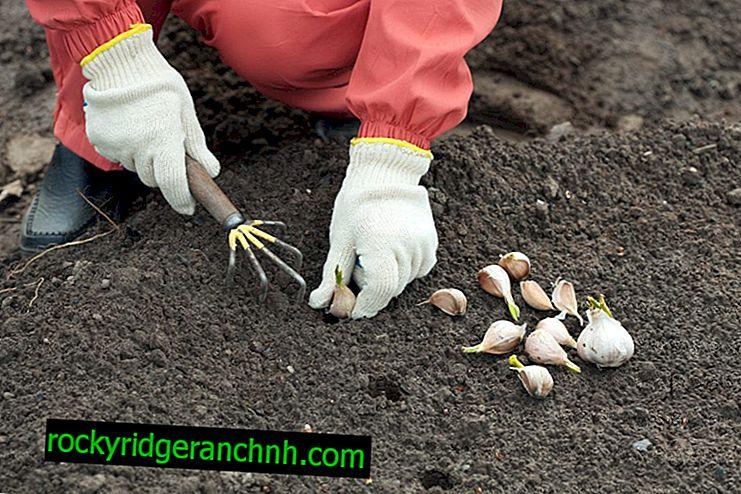 Kako presaditi češnjak u proljeće