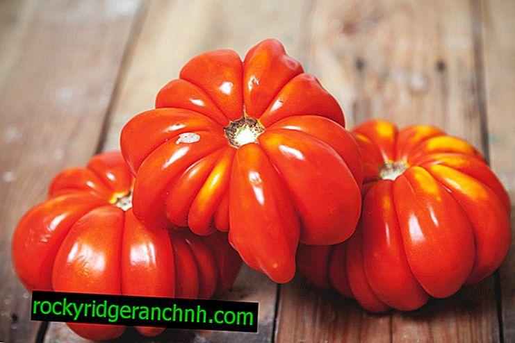 Karakteristike ljepote rajčice Lorraine