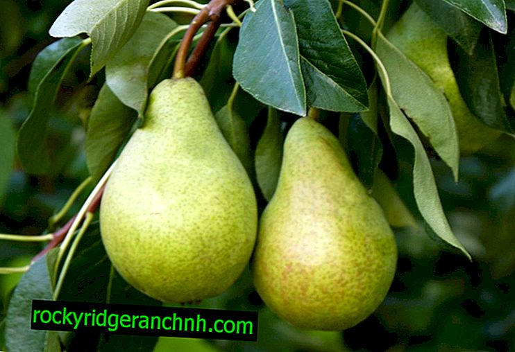 Victoria Pear Variety Characteristic