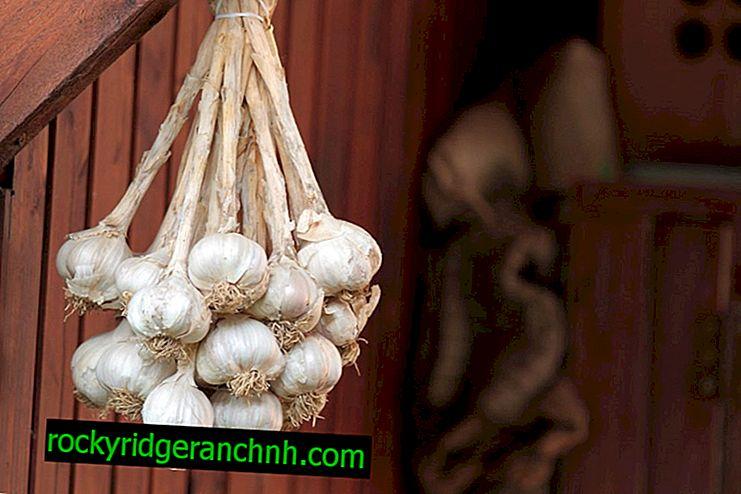 Hvordan fjerne hvitløk for lagring