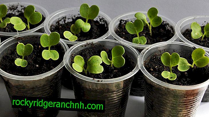 Načelo gojenja sadik zelja