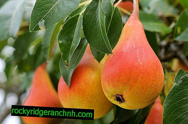 Feature pear variety Efimova elegant