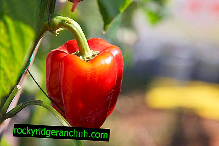 Characteristics of the variety of peppers Fat