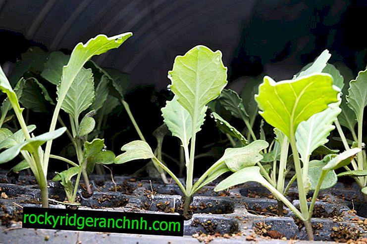 Bloemkool planten op zaailingen