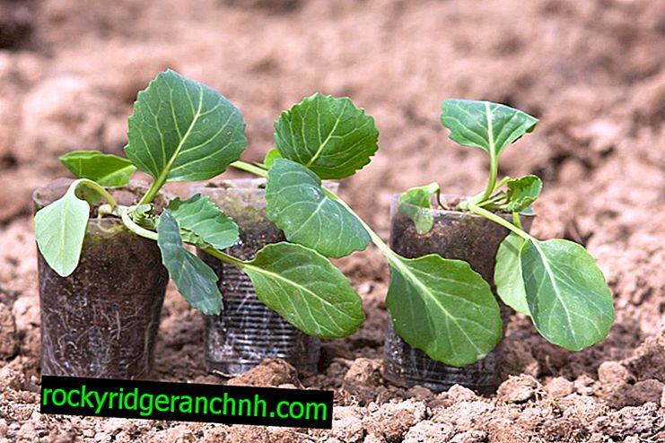 Büyüyen lahana fideleri için optimum sıcaklık