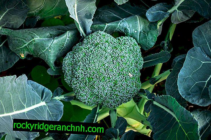 Description of Macho F1 broccoli