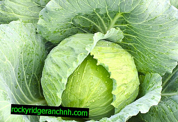 Characteristics of Ammon f1 salad cabbage