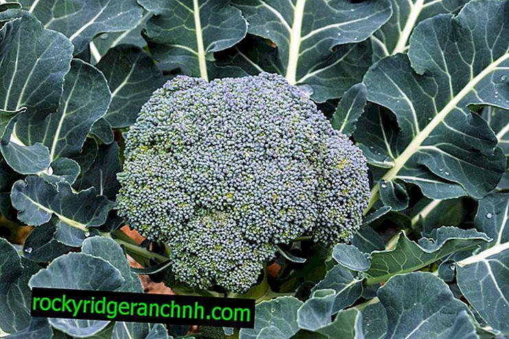Reglas para plantar y cuidar el brócoli