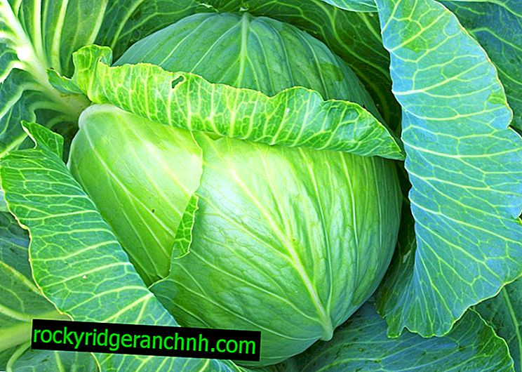 Description cabbage varieties Russian Size