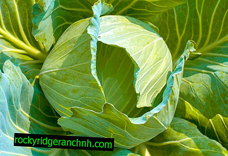 Description of cabbage Transfer