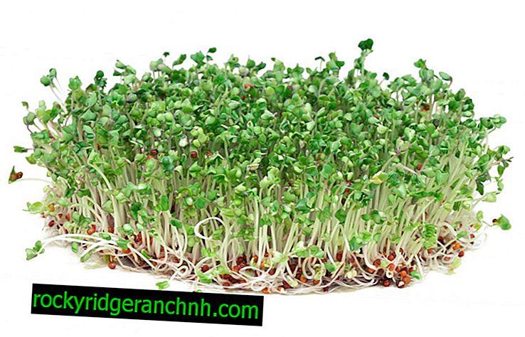 Výhody brokolice klíčky a jejich kultivace