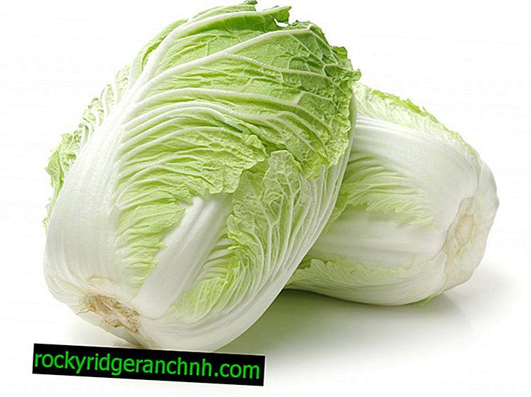 Pekin lahanası çeşitlerinin Manoko özellikleri